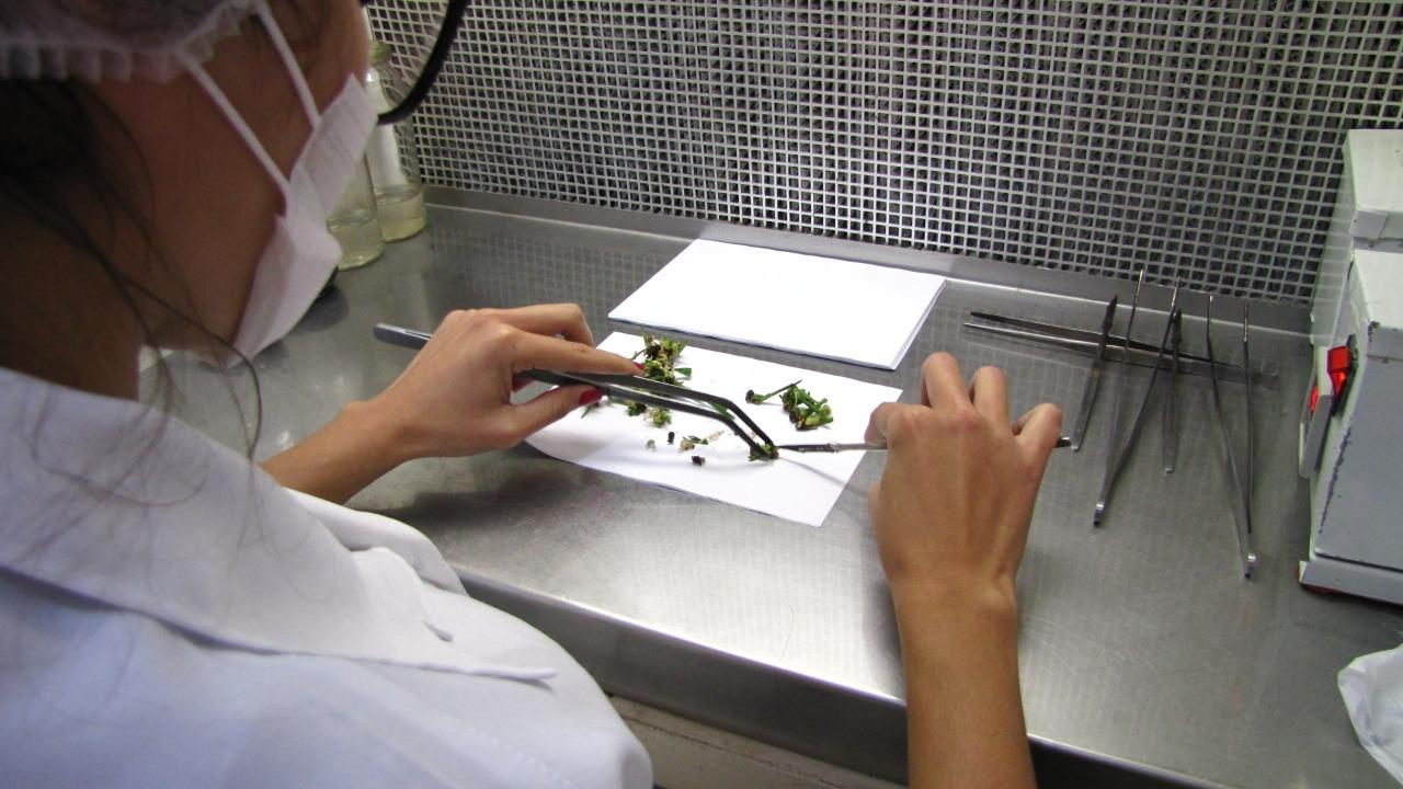 Imagem sobre Nova tecnologia vai aumentar em até 40% a produção de palmito tipo pupunha